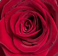 En enkel röd ros